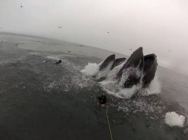 Humpback almost eats divers